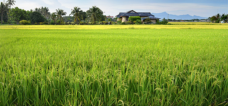 wet rice-fields